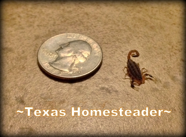 Scorpions get my instant skin-crawling attention, especially when they're inside the house. This is the smallest scorpion I've ever seen. #TexasHomesteader