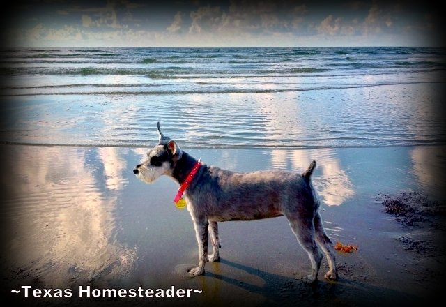 Bailey on the beach. What a fun week we had at Surfside Beach in south Texas. We rented a beach house & enjoyed the beach too. Come see what fun we had! #TexasHomesteader