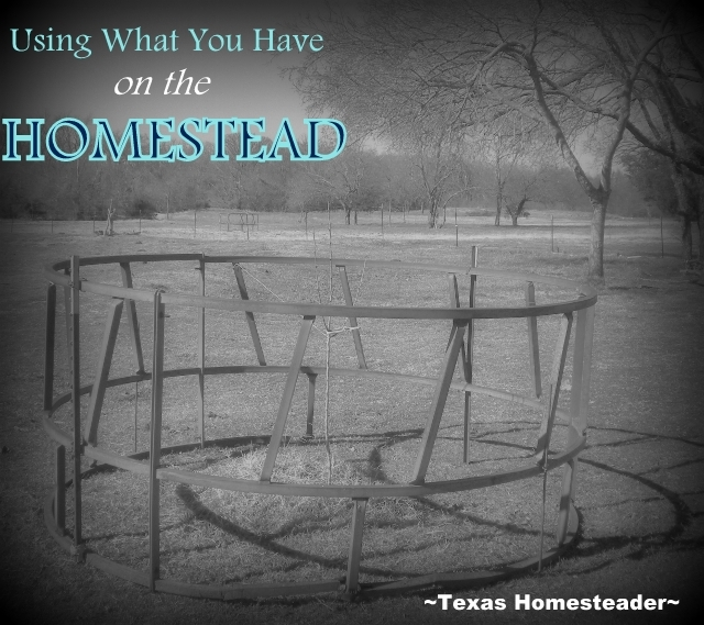 Using an old hay ring to protect a sapling tree. I'm glad that I'm able to repurpose items to another use - not only good for the environment but good for the budget as well. #TexasHomesteader
