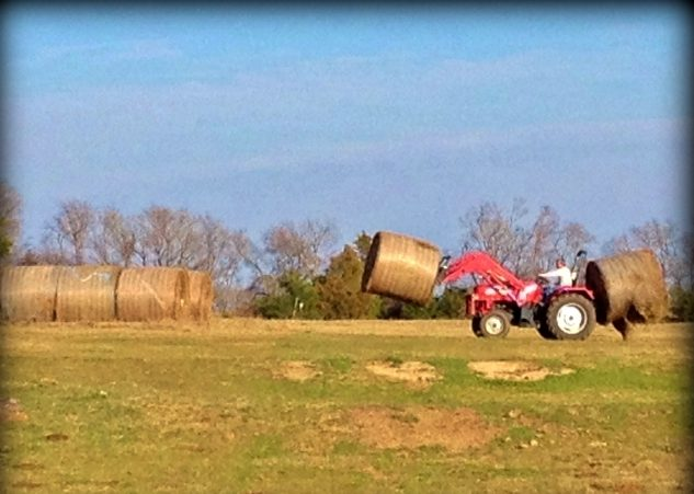 At last the hay delivery to see our herd through the rest of the winter has been received. RancherMan stacks it into our hay storage area. #TexasHomesteader