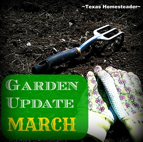 It's only March, but there's LOTS going on both in preparation of as well as in the garden. Come see what we're doing. #TexasHomesteader