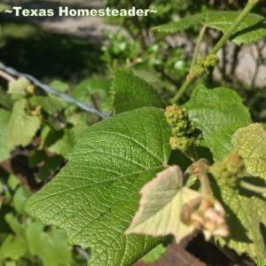 Concord grapevine. I waited (im)patiently for Easter so I could finally plant. The weather has been a challenge. Here is my April veggie garden update! #TexasHomesteader