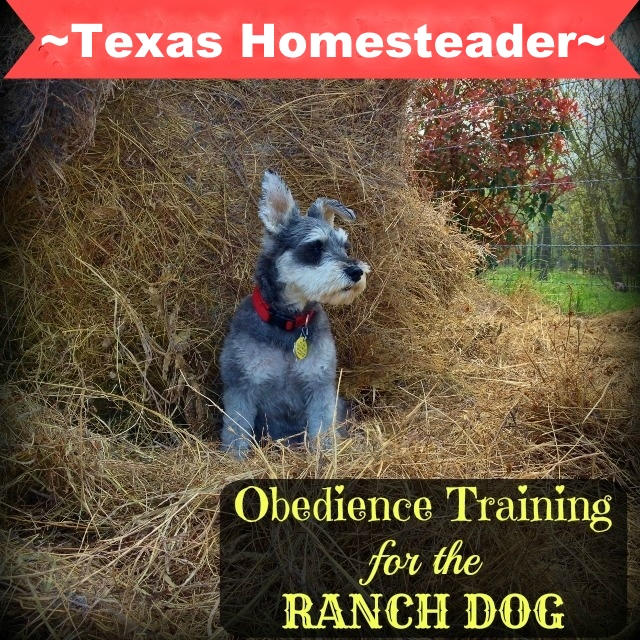 Obedience training for our ranch dog has gone very well with persistence, positive reinforcement and yes... a training collar. #TexasHomesteader