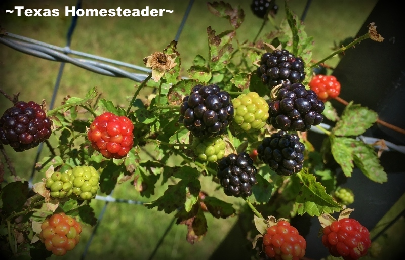 Blackberries - dewberries on the vine. Mother Nature has been fighting back this spring. Alas, I've had to start all over in May. Want to see how it's going? Read on. #TexasHomesteader