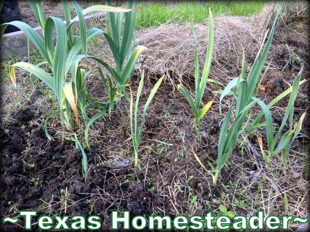 Garlic almost ready to harvest. Mother Nature has been fighting back this spring. Alas, I've had to start all over in May. Want to see how it's going? Read on. #TexasHomesteader