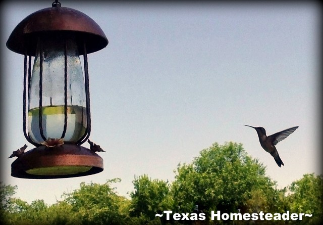 Our hummingbird feeder is right outside our back window so we can watch these little guys every day. #TexasHomesteader