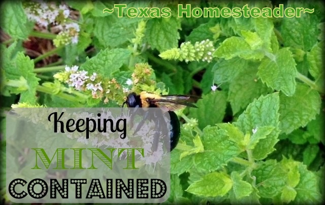 Keeping Mint Plants Contained In Landscaping - Come See How We're Enjoying Fresh Mint Without Worrying About It Going Wild in the beds. #TexasHomesteader