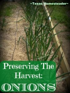 Onions in my vegetable garden. Come See How My Garden Is Doing For The Month Of April - There's Lots Going On In My Northeast Texas Veggie Garden! #TexasHomesteader