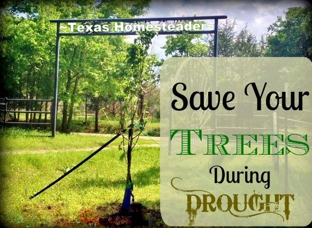 After I planted my small tree our area once again slipped into a drought. See what we did to easily keep my tree watered during the drought. #TexasHomesteader