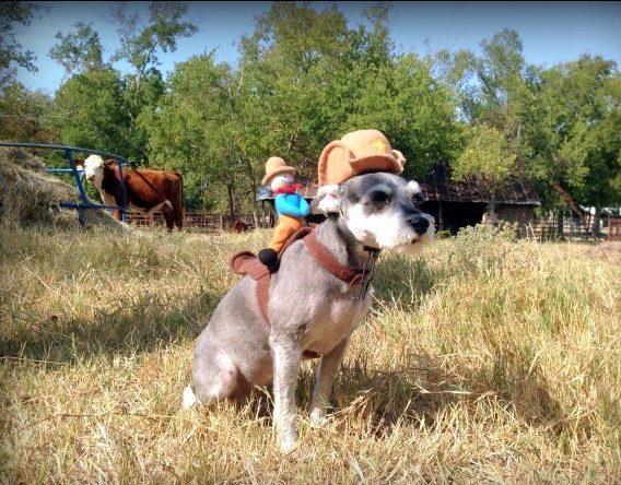 Our mini-schnauzer Bailey looks cute as a ranch buckaroo! #TexasHomesteader