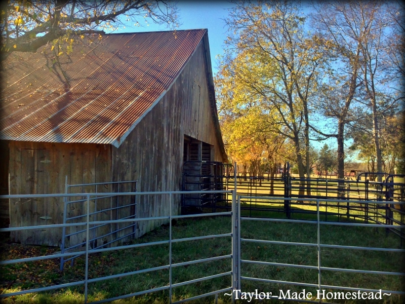 Cool days, blue skies and vibrant color, what a glorious time to be in NE Texas! Colorful foliage accents our 1880's barn beautifully. #TaylorMadeHomestead