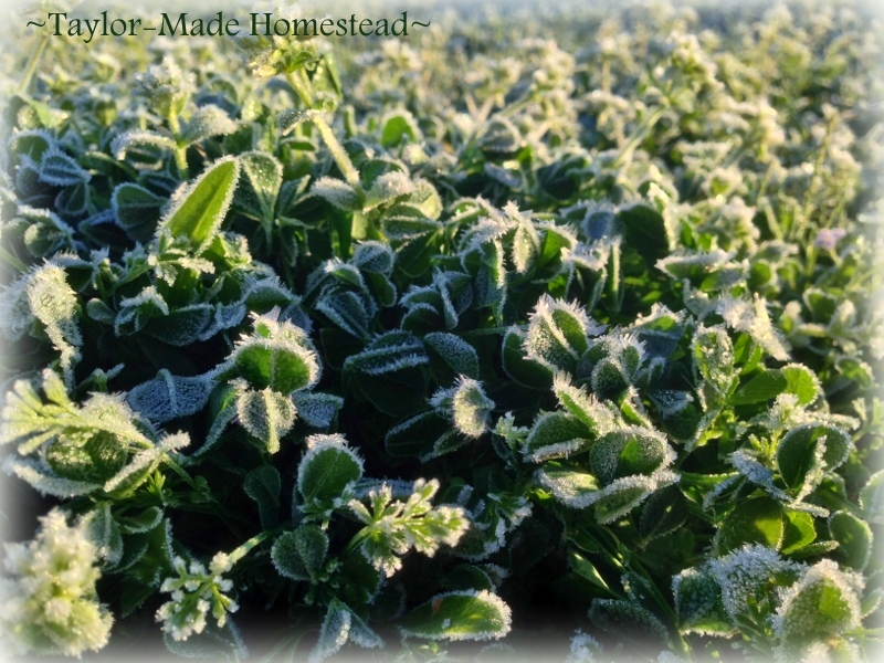 Killing frost keeps me from planting my garden just yet. #TexasHomesteader