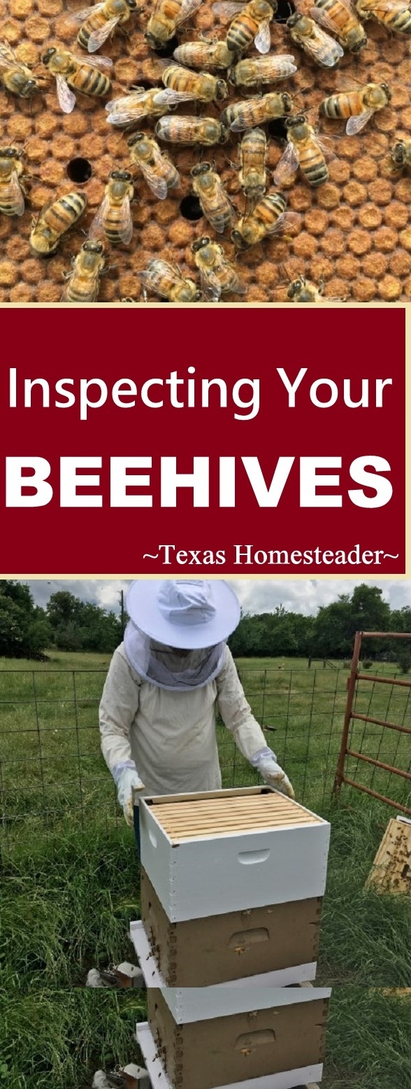 Inspecting Beehives. We have the hives, we have the bees - what's next? Come with us as we inspect the inside of the bee hives! #TexasHomesteader