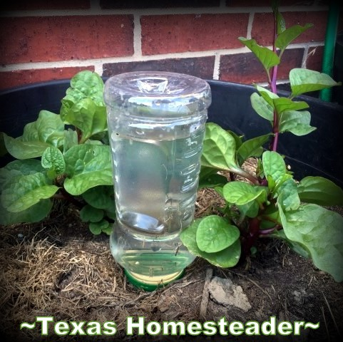 Plastic jar helps keep potted plants watered. A repurposed coffee can can be used for deep soak watering in the garden. It conserves water while allowing water to slowly drip. #TexasHomesteader