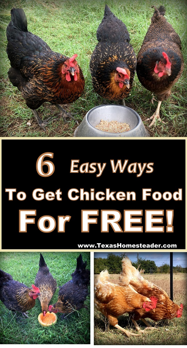 6 easy ways to feed your chickens - chicken food for FREE! #TexasHomesteader