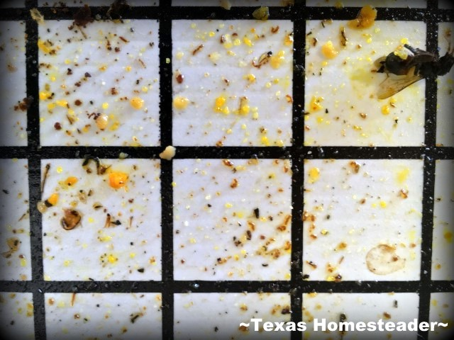 sticky board inspection. Varroa Mite Inspection is important. Thankfully it's also pretty easy to do. C'mon in, I'll show you what we did! #TexasHomesteader