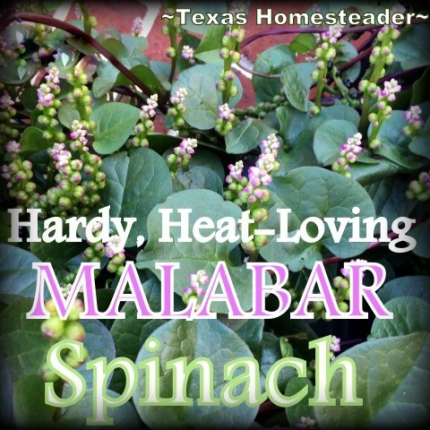 Dark-green heart-shaped leaves that grow in a vine even in the Texas summer heat. Beauty, edibility and heat-loving staying power. #TexasHomesteader