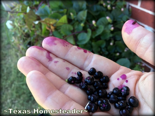 Malabar spinach seeds with purple stain. Dark-green heart-shaped leaves that grow in a vine even in the Texas summer heat. Beauty, edibility and heat-loving staying power. #TexasHomesteader