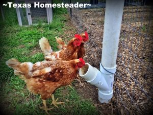 Low-waste chicken feeder. It's been recommended we all practice social distancing for a while to keep everyone healthy. Come see what a day on the homestead looks like. #TexasHomesteader