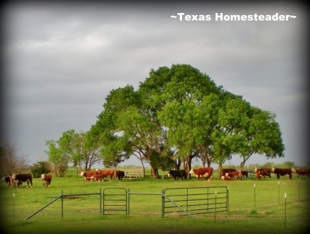 It does a heart good to look out and see all of that red and white! #TexasHomesteader