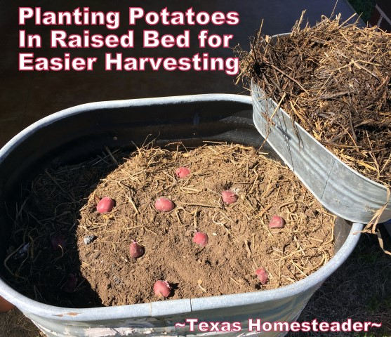 I've planted potatoes in the ground, but this year I'm planning for not only a more bountiful harvest, but an easier one too! #TexasHomesteader