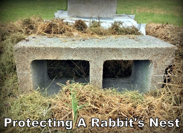 Protecting a rabbit's nest. How will I protect these kits from Bailey's instincts until they're old enough to fend for themselves? See this rabbit's nest guard. #TexasHomesteader