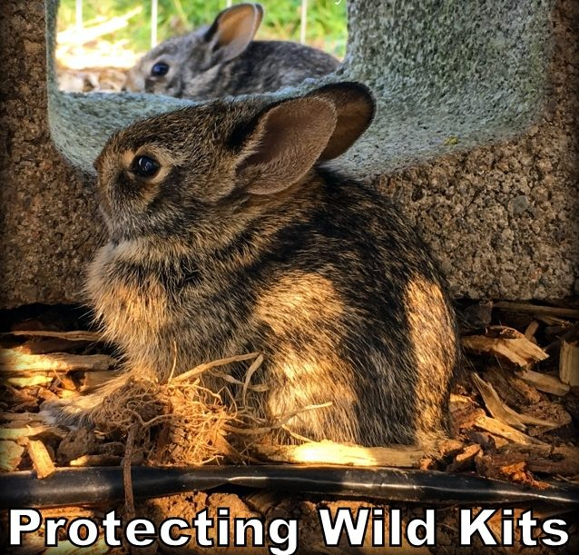 How will I protect these kits in the rabbit's nest from Bailey's instincts until they're old enough to fend for themselves? See this rabbit's nest guard. #TexasHomesteader