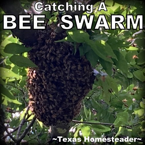 We recently got the opportunity to catch a bee swarm high up in a tree. But we were able to capture it from the ground! #TexasHomesteader