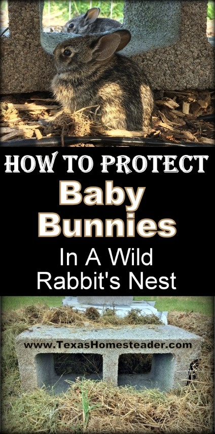 How will I protect these kits from Bailey's instincts until they're old enough to fend for themselves? See this rabbit's nest guard I came up with using things I already had #TexasHomesteader