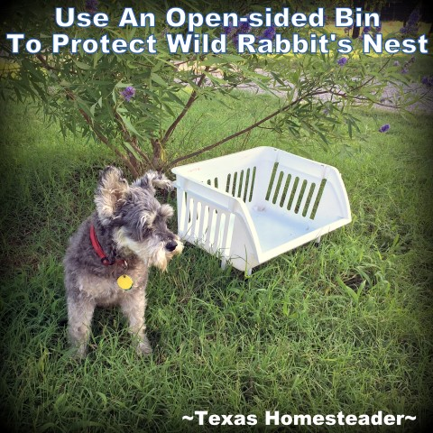 How will I protect these kits from Bailey's instincts until they're old enough to fend for themselves? See this rabbit's nest guard. #TexasHomesteader