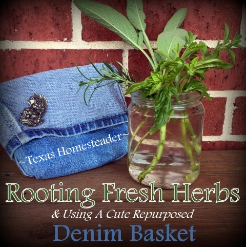 I took some herb cuttings to root in my kitchen window. But the jar needs to be kept dark. Check out this cute Homestead Hack idea! #TexasHomesteader