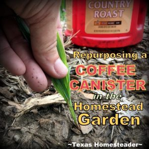 Easy ways to repurpose coffee cans - holding weeds pulled in the garden. #TexasHomesteader