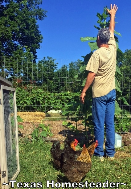 Tomato planting was a bust in the garden this year, will I do w/o tomatoes? See how I've outfitted my veggie garden with FREE plants #TexasHomesteader