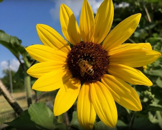 Wordless Wednesday: Sunflowers & honeybees. Two of my favorite things in one shot. Both just beautiful to me! #TexasHomesteader