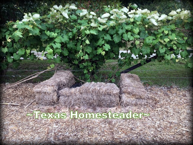 concord grapevine. A naughty bull jumped the garden fence and trampled everything. But it was all replanted quickly and has rebounded. #TexasHomesteader
