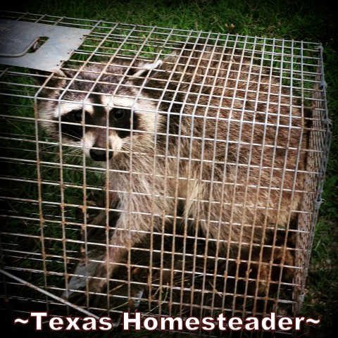Raccoon garden and chicken pest. Summer is here, y'all. July promises to be hot & dry here in NE Texas. But the garden has provided some harvests. Come check it out! #TexasHomesteader