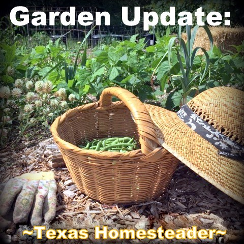 August is usually so hot & dry the garden goes dormant. But this year we've had some successes too. Come see! #TexasHomesteader