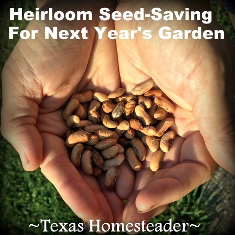 I save garden veggie seed to plant each year. Come see how I put back that precious seed in anticipation of next year's bounty. #TexasHomesteader