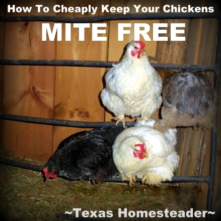 We use wood ash to reduce or eliminate mites on our chickens. We get happy hens using something that was previously just wasted. #TexasHomesteader