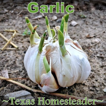 Planting sprouted garlic to to eliminate food waste. Can you eat your compost? Come see ways I've saved food previously destined for the compost pile for delicious use in my kitchen. #TexasHomesteader