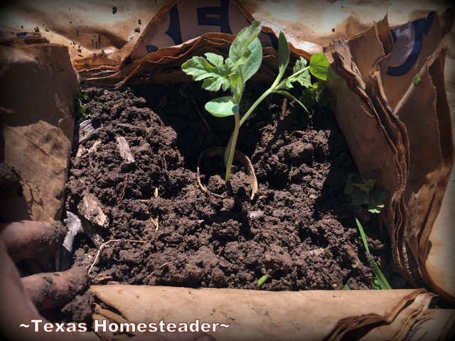 Planting in biodegradable weedblock. April Garden Update. The weather's not cooperating & too cool for my veggie plants. I may have to start over. #TexasHomesteader