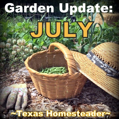 The veggie garden has been a struggle this year. As much as I hate being Debbie Downer, unless we get rain soon my garden will be done for the year. #TexasHomesteader