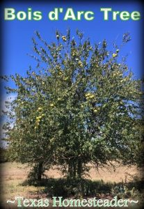 We have several Bois d'Arc trees on our property. Although they're beautiful, they're incredibly functional as well. And how about those crazy-looking horse apples? #TexasHomesteader