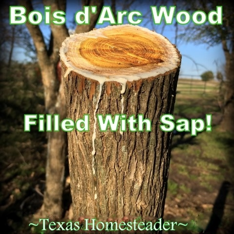Bois d'Arc wood is filled with sticky sap. #TexasHomesteader