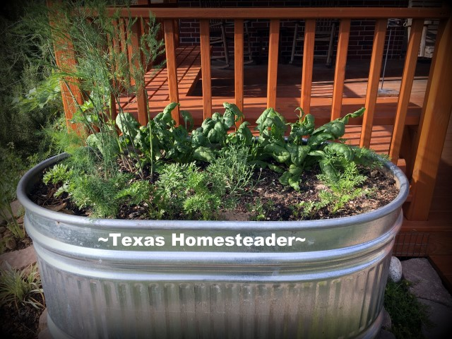 Planting large galvanized water troughs for edible beauty around your home. It's easy and can be done inexpensively too. #TexasHomesteader