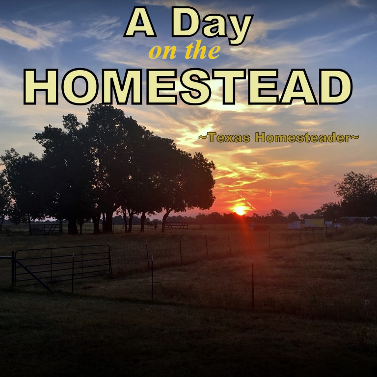 A day on the homestead includes chicken care, garden, calves - and more! Come with me to see what a day on our Texas homestead looks like #TexasHomesteader