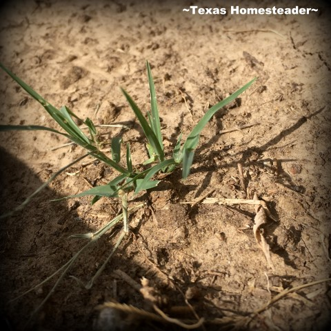 Bermuda Grass resprouting after spraying with herbicide. When it creeps into your raised beds, heck you've lost the war! Come see how we're protecting our raised beds with grass barrier. #TexasHomesteader