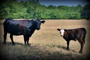 High strung angus cattle. Did you ever wonder what a day on the homestead was like? Join me to see what tasks are on tap at our N.E. Texas Homestead. #TexasHomesteader