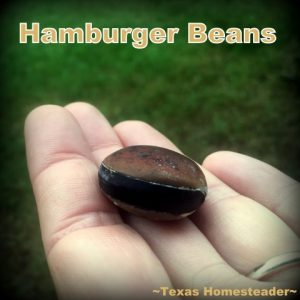 Hamburger Beans found on beach. Make time to spend with family! Life's short and there's no promise of tomorrow. Recently we spent family time at Surfside Beach, Texas. #TexasHomesteader