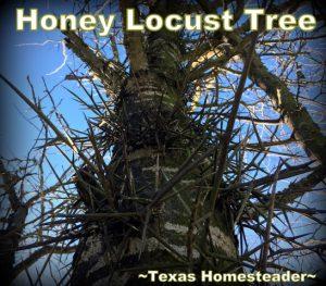 Honey locust tree. Texas Homesteader's Top 10 posts of 2019 #TexasHomesteader